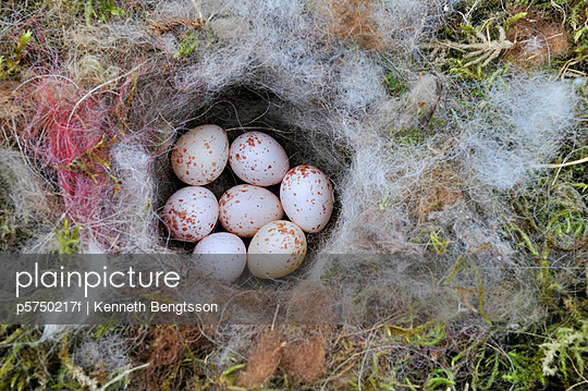Tree sparrow eggs in a birds nest Sweden