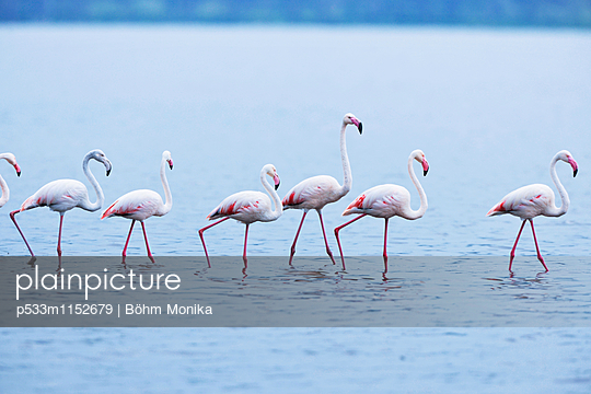 Flamingos im Gänsemarsch - p533m1152679 von Böhm Monika