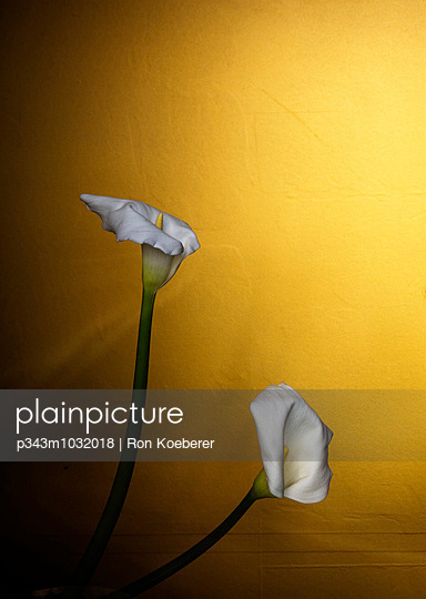 Side view of two calla lillies.