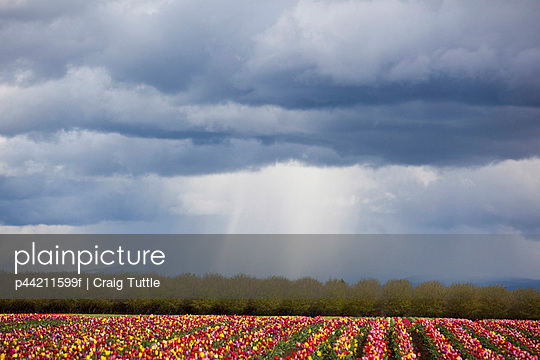 tulip field under storm clouds