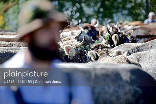 Traditioneller Viehscheid, Allgäu, Bayern, Deutschland - p1316m1161193 von Christoph Jorda