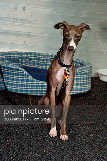Skinny Dog With Dog Bed, Whippet