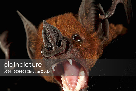 Greater Spear-nosed Bat in defensive posture