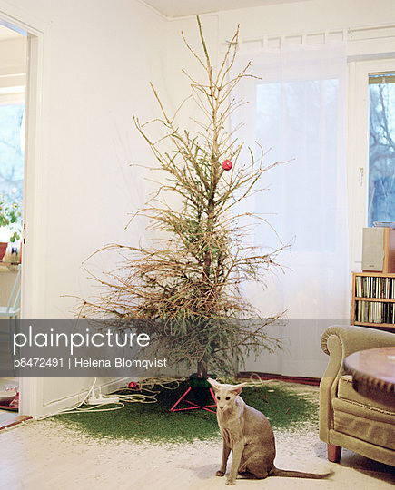 Grey Oriental Cat Sitting In Front Of ChristmasTree Shedding It´s Needles