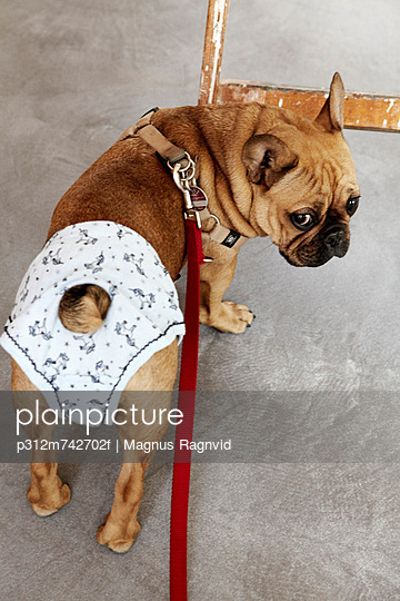 Pug dog wearing diaper