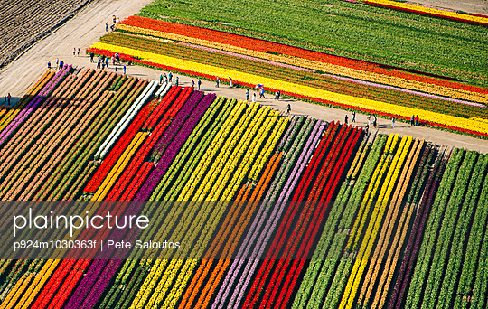 Aerial view of rows of colorful tulip fields
