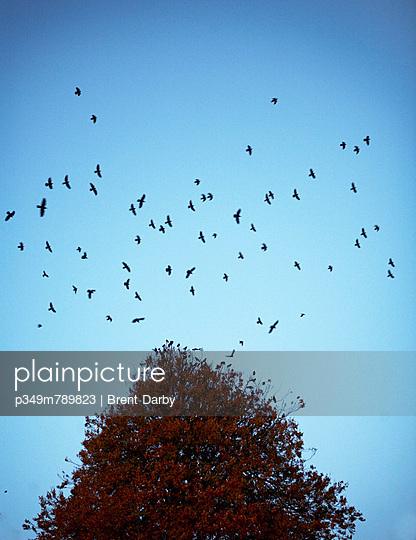 Flock of birds circle autumn tree