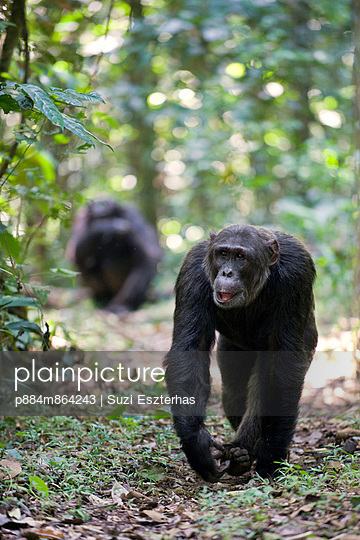 Chimpanzee pair on tropical forest path