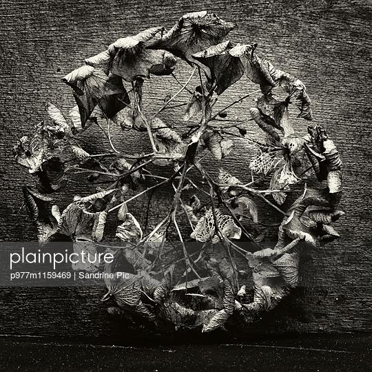 Vertrocknetes Hortensienblatt - p977m1159469 von Sandrine Pic