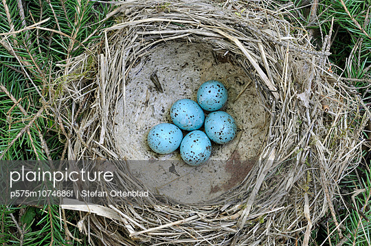 Bird\'\'s nest with eggs of thrush, Sweden.