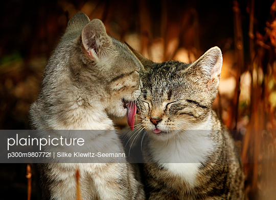 Young cat licking the face of another cat