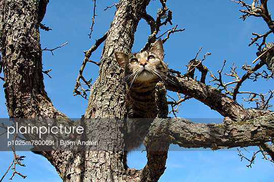 Low angle view of a cat on a bare tree against clear blue sky