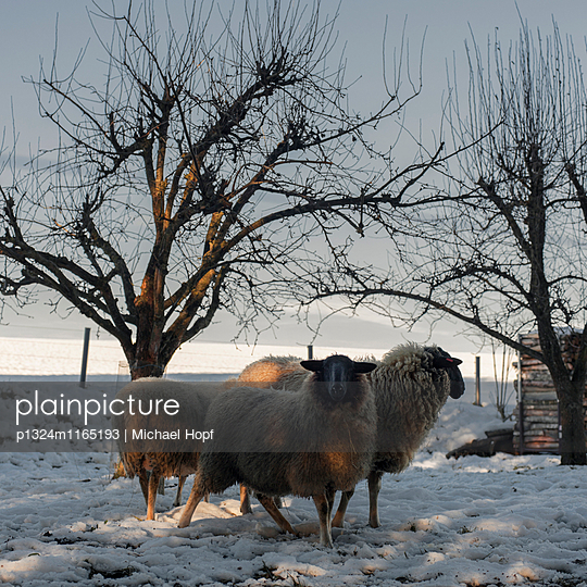 Schafe auf einer verschneiten Weide - p1324m1165193 von michaelhopf