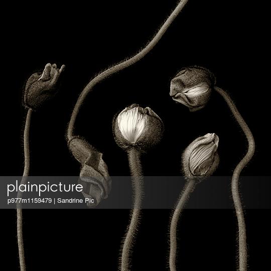 Mohnblumen auf schwarzem Hintergrund - p977m1159479 von Sandrine Pic