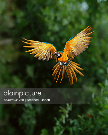 Blue and yellow macaw in flight, South America, controlled conditions