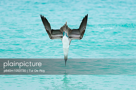 Blue-footed booby plunge-diving at high speed, San Cristobal Island, Galapagos, Ecuador.