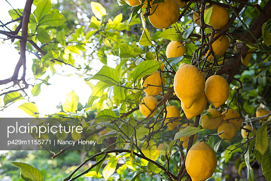 Lemon tree full of fruits