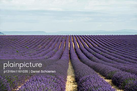 Lavendelfeld, bei Valensole, Plateau de Valensole, Alpes-de-Haute-Provence, Provence, Frankreich - p1316m1161035 von Daniel Schoenen