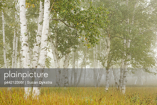 thunder bay, ontario, canada; birch trees in the fog