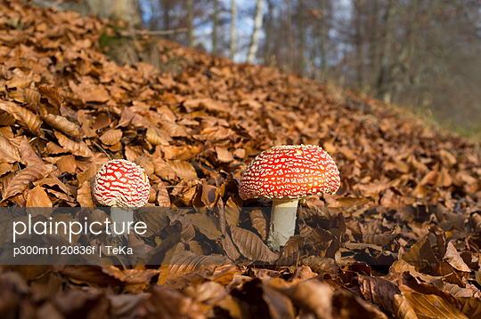 Two fly agarics in autumnal forest
