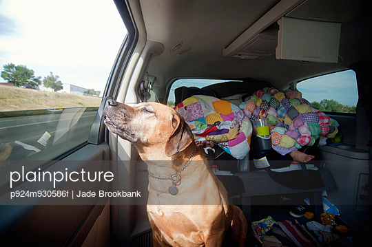 Dog in car back seat enjoying journey