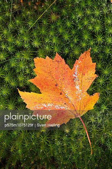 Maple leaf in autumn colours