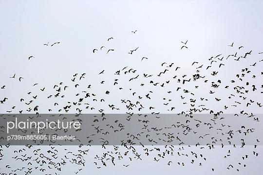 Flock of lapwings