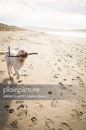 Cute dog fetching a stick on beach, Dillon Beach, California, USA