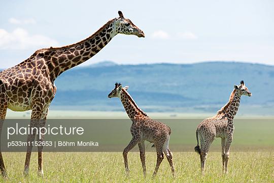 Masai Giraffe mit Jungtieren - p533m1152653 von Böhm Monika