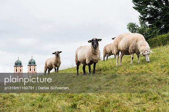 Schafe beim Grasen, St Märgen, Schwarzwald, Baden-Württemberg, Deutschland - p1316m1160791 von Daniel Schoenen