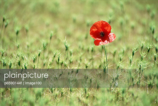 View of a single red poppy flower in a field of green plants