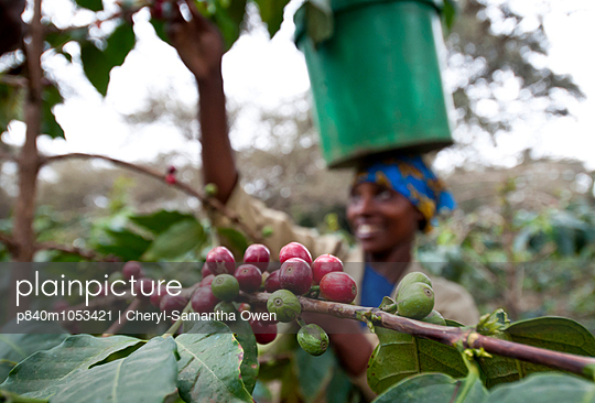 Woman harvesting Coffee cherries, carrying bucket on her head. Commercial coffee farm, Tanzania, East Africa. October 2011.