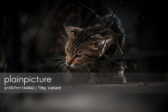 Cat passing through a wire fence
