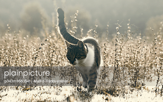 A young cat walking gingerly on the meadow in Serbia