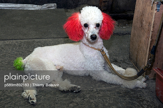 Poodle dyed the animal market in shanghai
