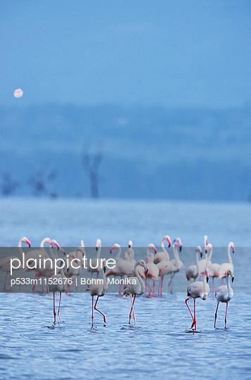 Flamingos im Nakurusee - p533m1152676 von Böhm Monika