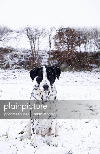 Mischlingshund im Schneegestöber - p533m1169617 von Böhm Monika