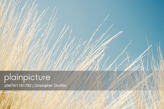 Gräser - p947m1161792 von Cristopher Civitillo