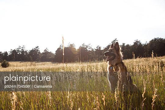 German Shepherd in a field