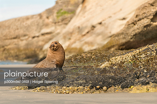 New Zealand, Tasman, Golden Bay, Puponga, New Zealand fur seal on the beach near Cape Farewell