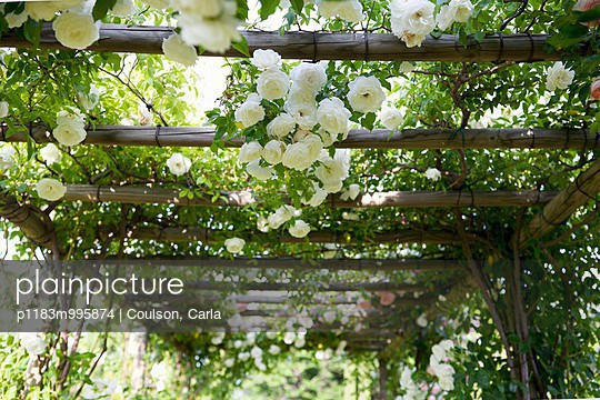 Close-up of white climbing roses on pergola