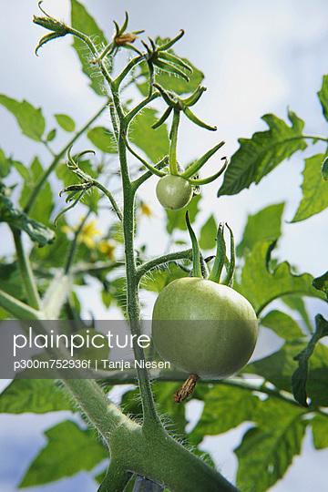 Germany, Bavaria, Green tomatoes on vine