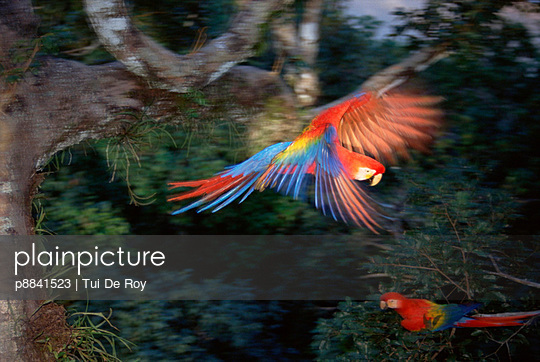 Scarlet Macaw flying in rainforest canopy