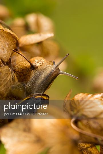 Snail on Hydrangea