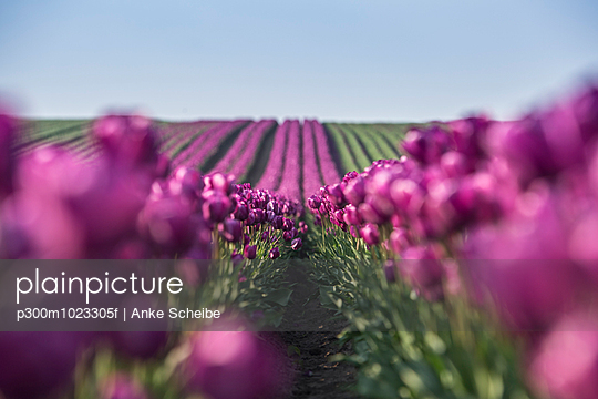 Germany, purple tulip fields