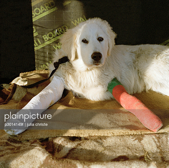 A dog with two broken legs in casts
