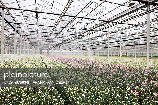 Rows of plants growing in greenhouse