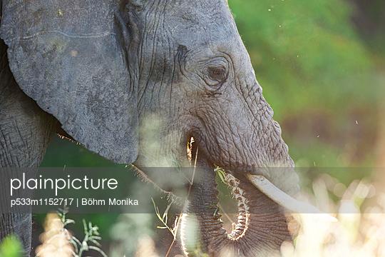 Afrikanischer Elefant im Gegenlicht - p533m1152717 von Böhm Monika