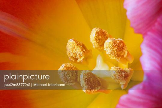 Extreme close up of tulip pistils;Calgary alberta canada