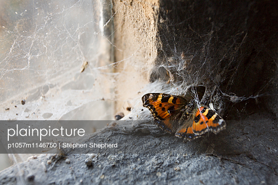 Kleiner Fuchs - p1057m1146750 von Stephen Shepherd